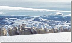 Exportaciones ovinas con signo de interrogación.