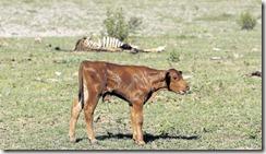 Millones de cabezas de ganado muertas o en peligro en Pakistán.