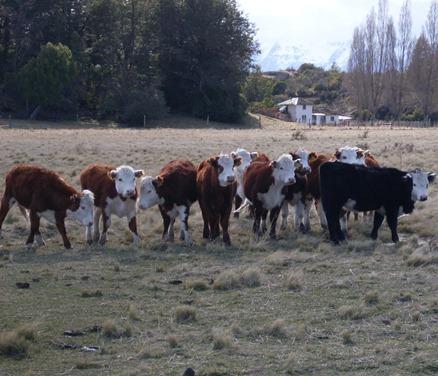 Implementan innovador programa piloto de inseminación artificial en ganado bovino.