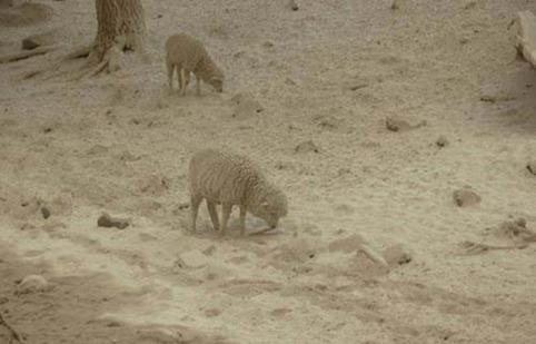 750 000 ovejas mueren por ceniza del volcán chileno Puyehue.