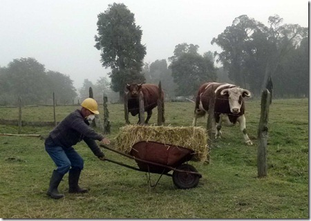 SAG realizará catastro de ganado en fundos afectados por ceniza en Los Ríos.