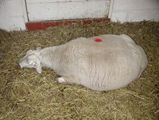 SAG de Los Ríos confirmó que muerte de ovejas no está relacionada con erupción del Caulle.