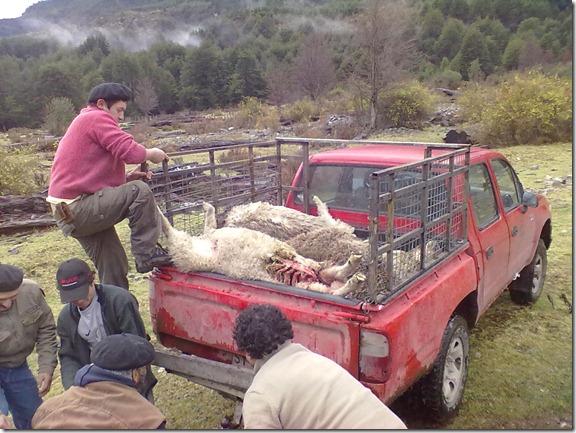Productores/as de Villa Mañihuales denuncian que más de 150 ovejas han sido atacadas por perros vagos.