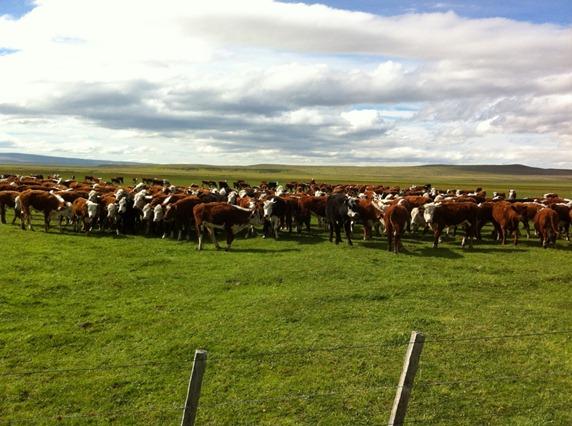 Proyecto busca potenciar exportación de carne bovina de la Región de Magallanes