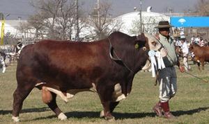 Paraguay exportará a Chile carne Braford con marca certificada