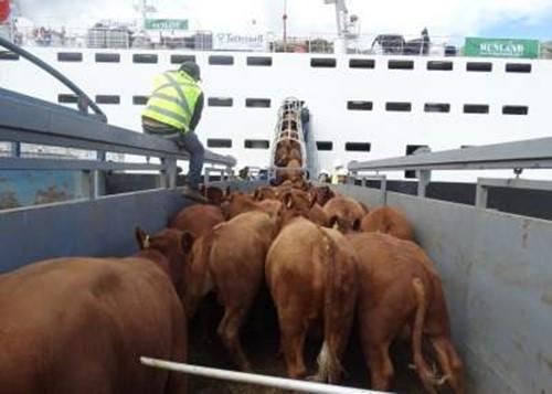 Embarcan 3 mil 500 bovinos vivos en la Región de Los Lagos con destino a Turquía