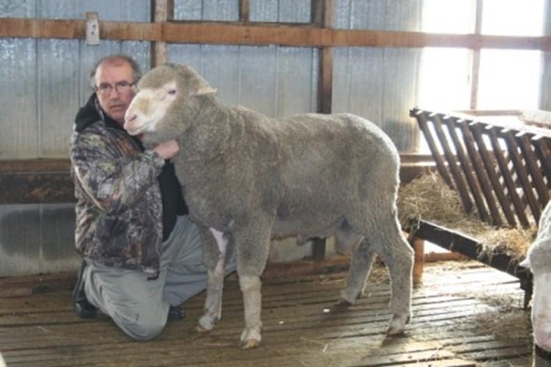 2.000 ovinos viajan a Ecuador